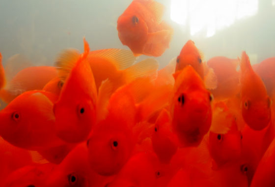 goldfish tank. animated goldfish tank and
